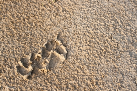 dog footprint on soil surface in rainy day photo