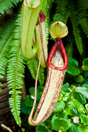 pitcher plant, nepenthes, monkeys cup photo