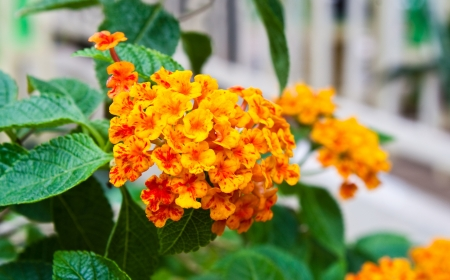 lantana: lantana flower Stock Photo