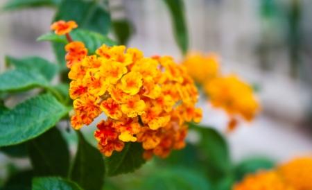lantana flower photo