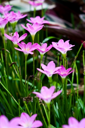 zephyranthes lily flower  rain lily ,fairy lily  photo