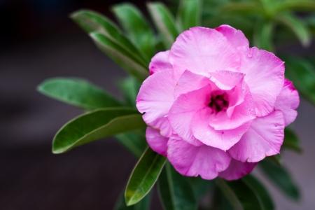 adenium obesum balf: impala lily   Adenium obesum Balf