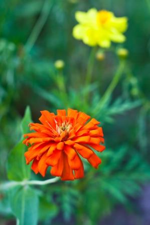 orange zinnia photo
