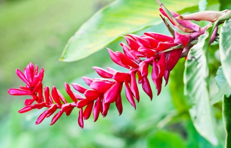 red ginger  Alpinia purpurata  Stock Photo - 15656535