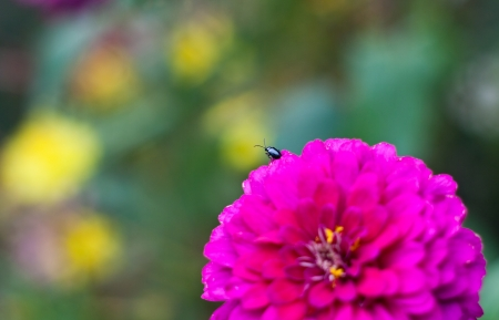 black small insect on pink zinnia flower photo