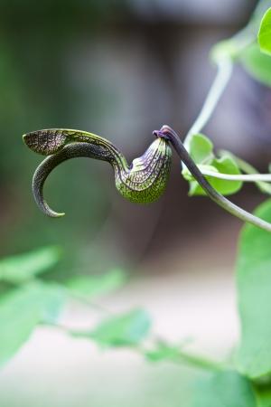 gaping: gaping dutchmans pipe flower  (Aristolochia ringens Vahl.) Stock Photo
