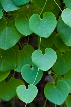 green heart leaf Stock Photo - 16111601