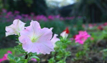 pink petunia flower photo