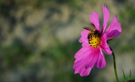 pink cosmos flower with honey bee