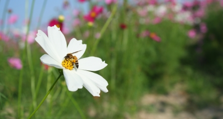 white cosmos flower with honey bee