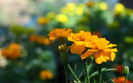 marigold flower Stock Photo