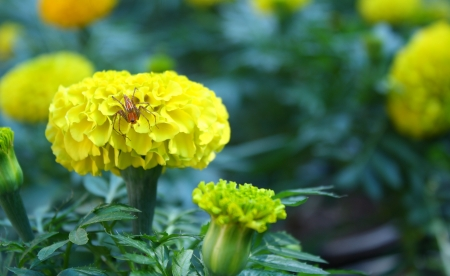 yellow marigold flower with a little spider photo