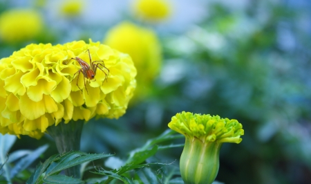 yellow marigold flower with a little spider Stock Photo