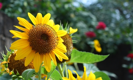 sunflower in garden photo