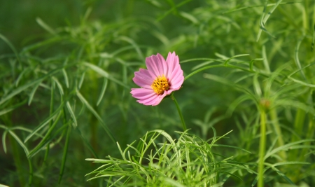 pink cosmos flower photo
