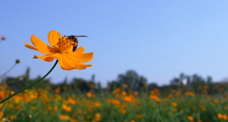 cosmos flower and honey bee photo
