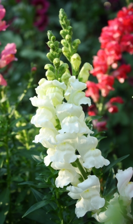 snapdragon flower Stock Photo