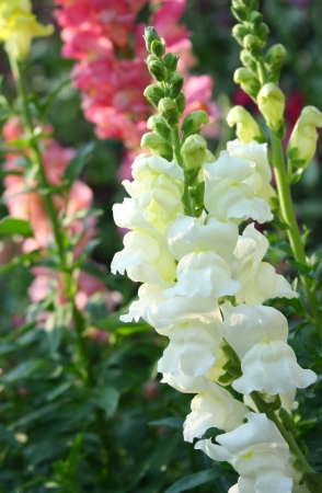 snapdragon: snapdragon flower Stock Photo