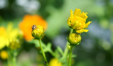 yellow cosmos flower and lady bug photo