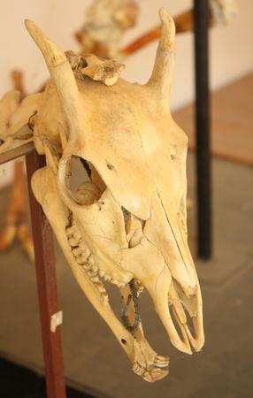 skeleton of barking deer or muntjack head skull