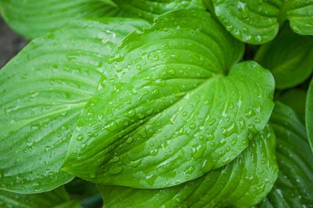 leaf water: Raindrops on leaf
