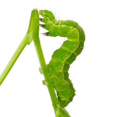 Harmful leaf worm Stock Photo