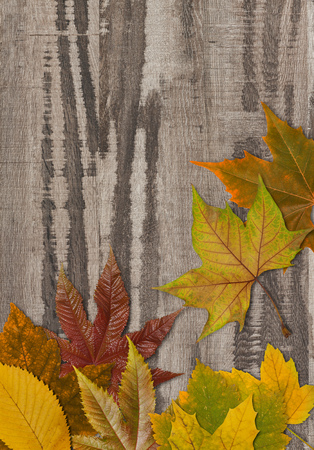autumn leafs: Autumn leafs on wood Stock Photo