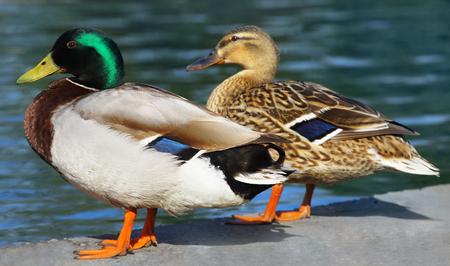 Ducks on water edge