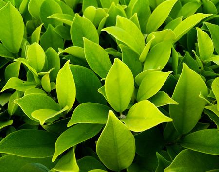 ficus: Ficus annulata a tree house Stock Photo