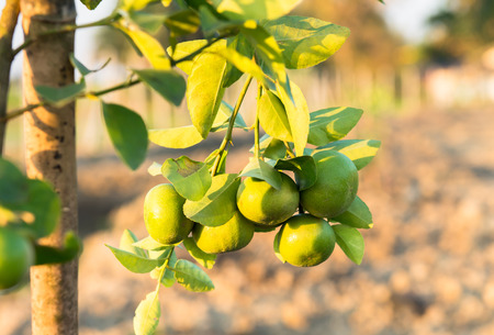 Green lemons growing on the tree. Reklamní fotografie