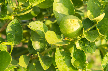 Green lemon tree Reklamní fotografie