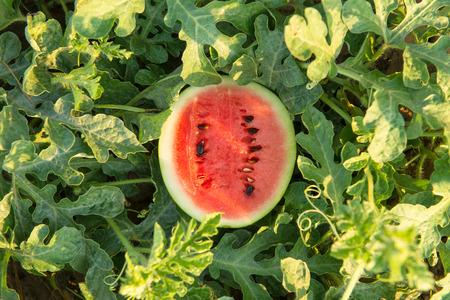 Water melon in garden Reklamní fotografie
