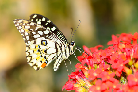 Butterfly on red flower.