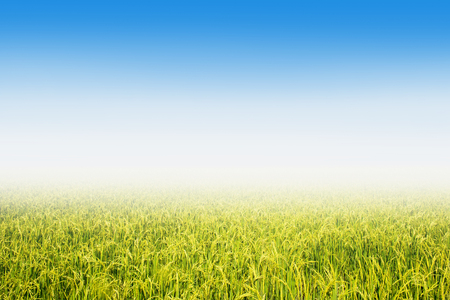 rice field on a background of the blue sky.