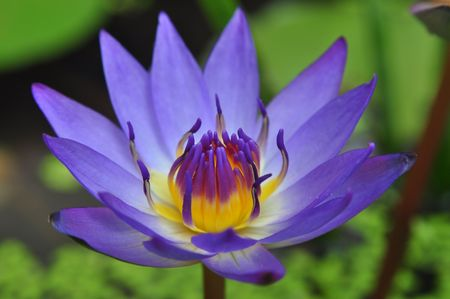 water lily Stock Photo - 6951715
