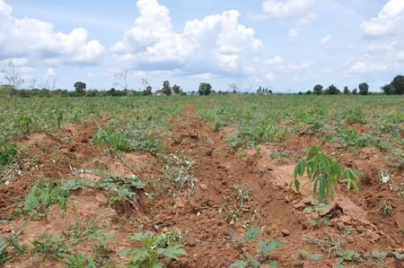 cassava field  photo