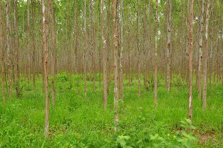 eucaliptus plant landscape Stock Photo