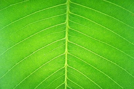 texture surface in transparent leaf