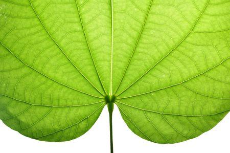 Transparent leaf texture background photo