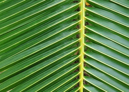 Green color coconut leaf detail photo