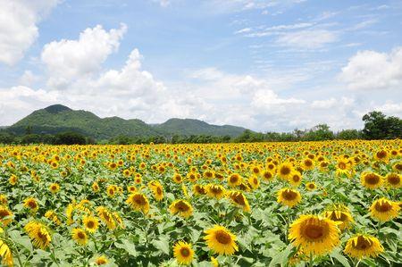 Geel zonne bloem veld  Stockfoto