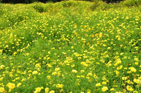 yellow Compositae flower field photo