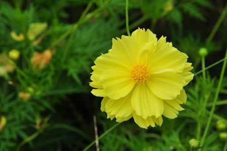 yellow Compositae flower as top view photo