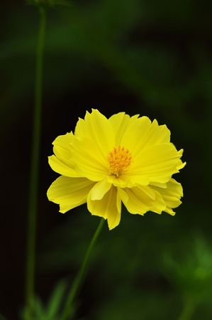 yellow Compositae flower as black back ground photo