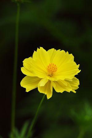 compositae: yellow Compositae flower as black back ground