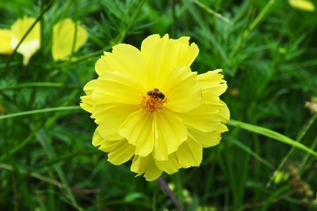 yellow Compositae flower as bee photo