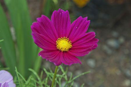 compositae: Violet Compositae flower