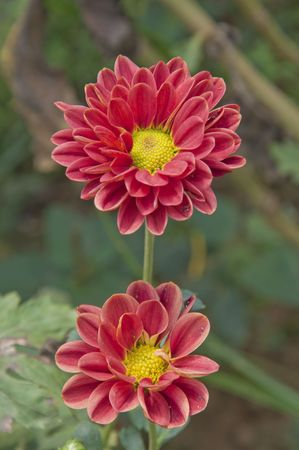 Colorful chrysanthemums flower photo