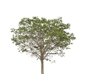green tree as white isolate background Stock Photo - 8880828