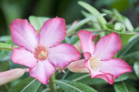 Impala Lily Adenium flower Stock Photo - 9081934
